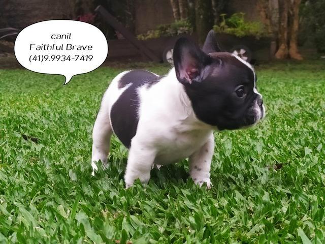 Bulldog francês/ Para quem busca qualidade e procedência na Criação! - Foto 3