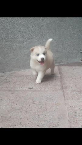 Husky filhote com pedigree