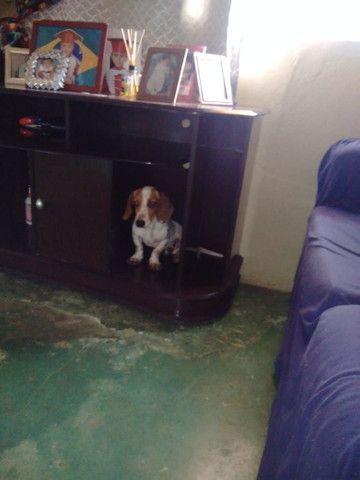 Vende _se cachorrinho mancho Basset 9 mês * - Foto 4