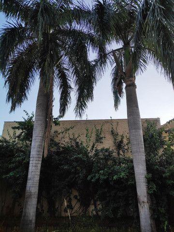 Palmeira Real - doação! - Foto 3
