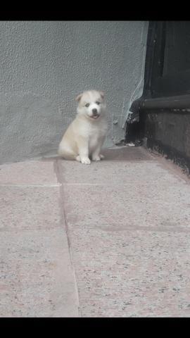 Husky filhote com pedigree - Foto 2