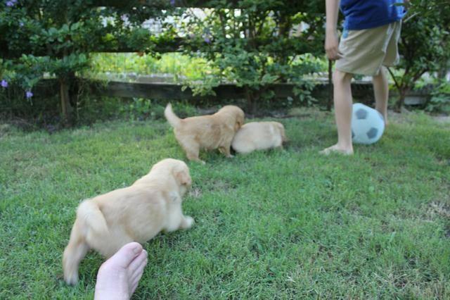 Filhotes TOP's de Golden Retriever com Pedigree! - Foto 5