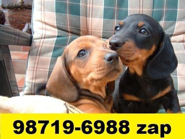 Canil Líder Filhotes Cães BH Basset Poodle Lhasa Maltês Yorkshire Shihtzu Beagle