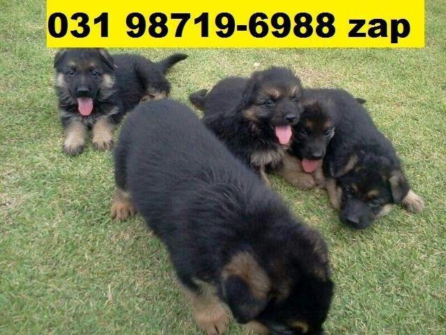 Canil Filhotes Cães Selecionados BH Pastor Boxer Labrador Rottweiler Dálmata Golden