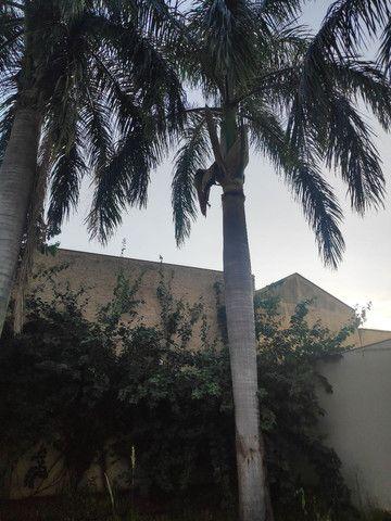 Palmeira Real - doação! - Foto 2