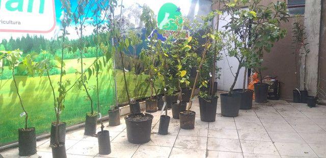 Mudas de Arvores frutiferas Figo Guabiroba jabuticaba uvaia mirtilo maça e muito mais - Foto 2