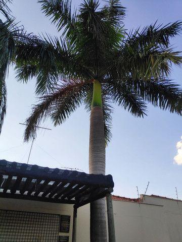 Palmeira Real - doação! - Foto 6