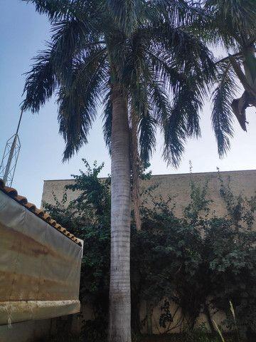 Palmeira Real - doação! - Foto 5