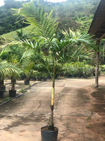 Vetchia/ Palmeira Manilla