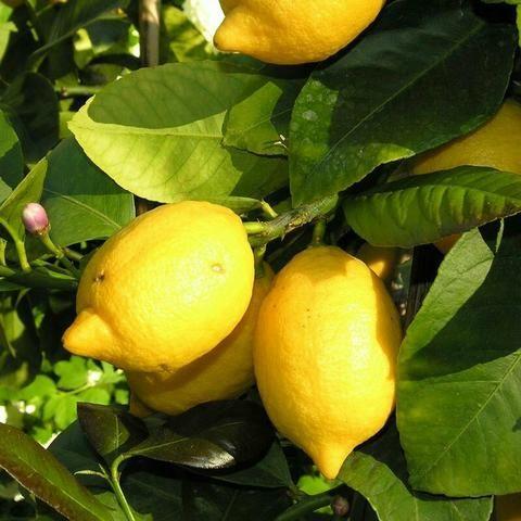 Varias mudas frutiferas - Foto 3