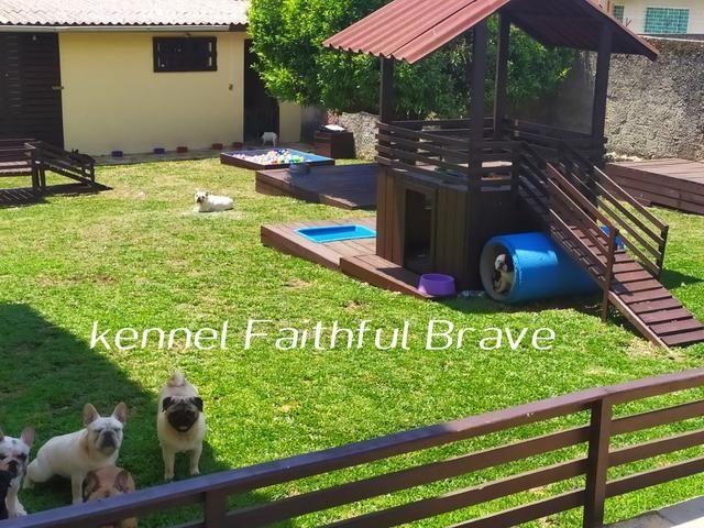 Bulldog francês/ Para quem busca qualidade e procedência na Criação! - Foto 5