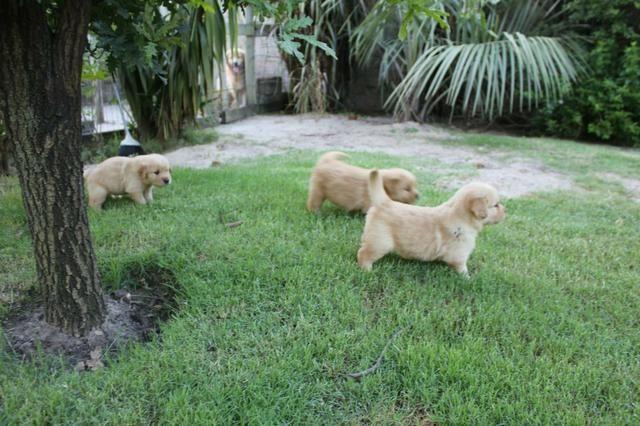 Filhotes TOP's de Golden Retriever com Pedigree! - Foto 2