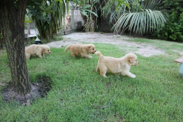 Filhotes TOP's de Golden Retriever com Pedigree! - Foto 3