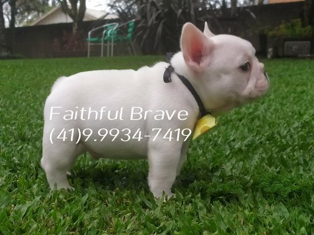 Bulldog francês/ Para quem busca qualidade e procedência na Criação! - Foto 2