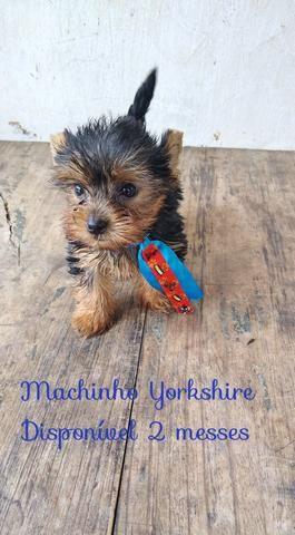 Promoção Yorkshire micro - Foto 3