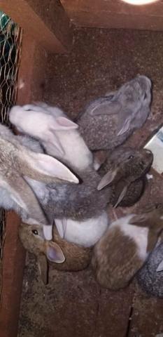Vêndo coelhos
