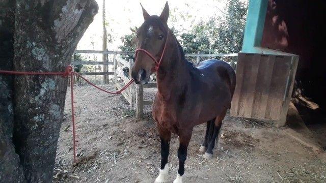 Cavalo Mangalarga sem registro  - Foto 2