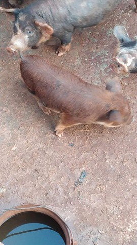 Mini porco - Foto 4