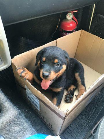 Rottweiler alto nível alemão  - Foto 3