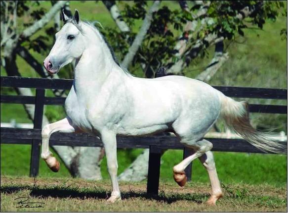 Cavalo Marchador Campeão Nacional do Pampa 2012