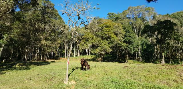 Vendo área para formar chácara em Mandirituba localidade Guapiara 12.000 metros. - Foto 3