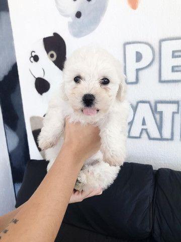 Poodle disponível - Macho e fêmea - Foto 6