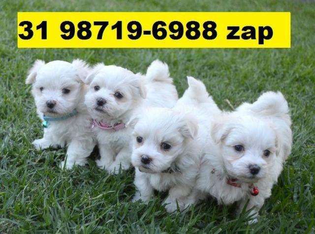 Canil Filhotes Cães Premium BH Maltês Basset Shihtzu Lhasa Beagle Poodle Yorkshire