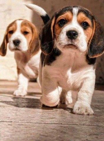 Beagle Filhote 13 Polegadas com Pedigree Microchip  - Foto 5