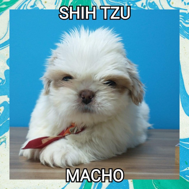 Shihtzu macho primeira consulta gratuita