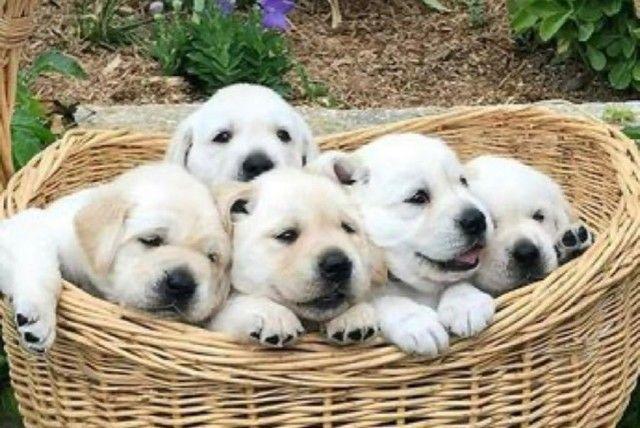 Labrador Macho Filhote! Com Pedigree e Garantia de Saúde  - Foto 3