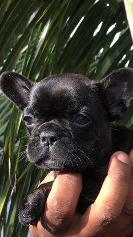 Bulldogs macho parcelo 10 vezes sem juros  - Foto 2