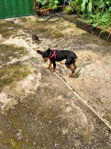 Cachorro pinche número 3 lindo  - Foto 2