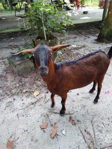 Cabra R$450 - Foto 2
