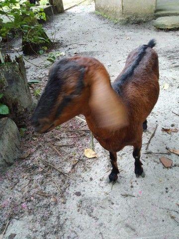 Cabra R$450 - Foto 6