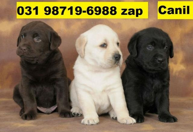 Canil Filhotes Belos Cães BH Labrador Pastor Akita Boxer Rottweiler Golden