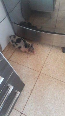 Mini porco - Foto 2