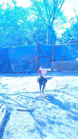 Vendo Galo Indio Gigante Crista Bola e Barbela de Boi - Foto 5