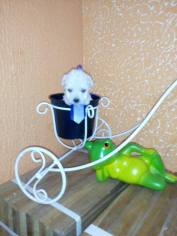 Último!!! Poodle macho mini