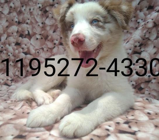 Filhotes de Border Collie com 02 meses, vacinado com pedigree - Foto 2