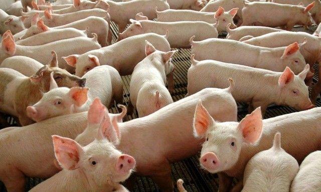 Estou doando Porcos