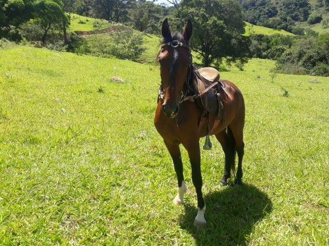 Cavalo Mangalarga sem registro  - Foto 5