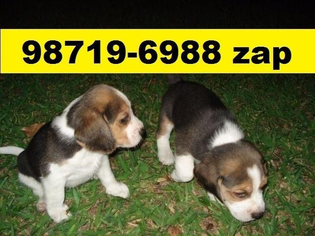 Canil Excelentes Filhotes Cães BH Beagle Basset Yorkshire Poodle Lhasa Shihtzu Maltês