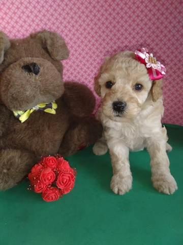 Poodle disponível - Macho e fêmea - Foto 3