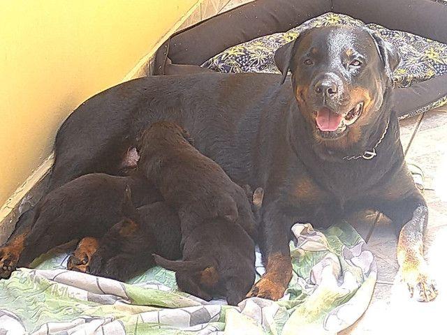 Filhote Rottweiler - Foto 2