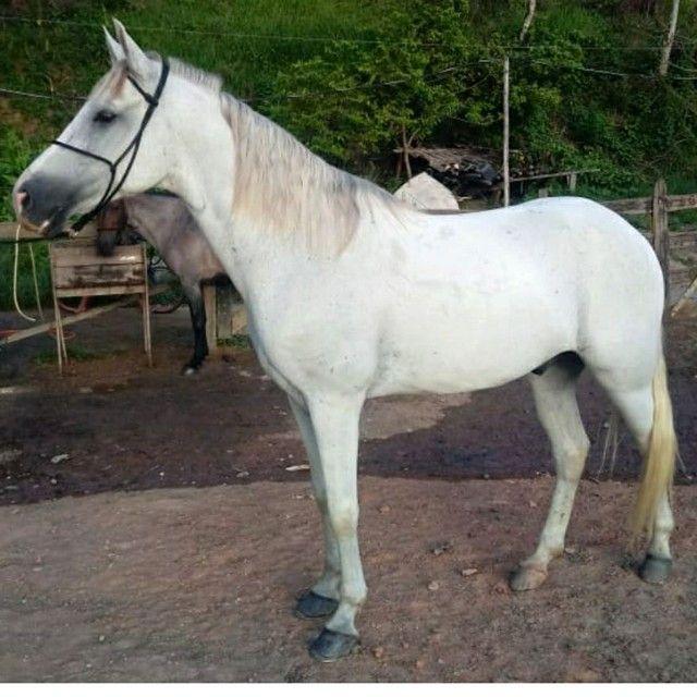 Cavalo mangalarga machador - Foto 3