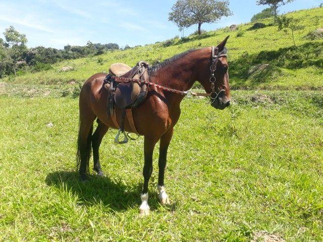 Cavalo Mangalarga sem registro  - Foto 6