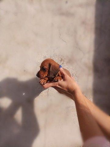 Filhotes Dachshund Famoso Salsicha Legítimos Até 12 X No Cartão - Foto 2