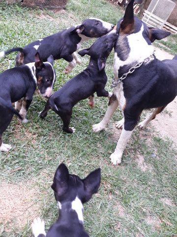 Bull Terrier Inglês Filhotes - Foto 4