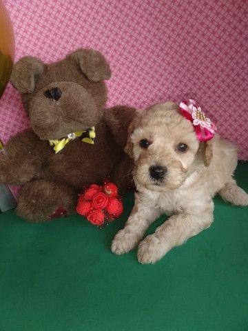 Poodle disponível - Macho e fêmea - Foto 4