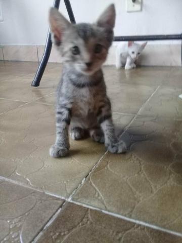 Doação De Filhotes De Gato - Foto 6
